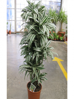 Dracaena White Jewel Branched