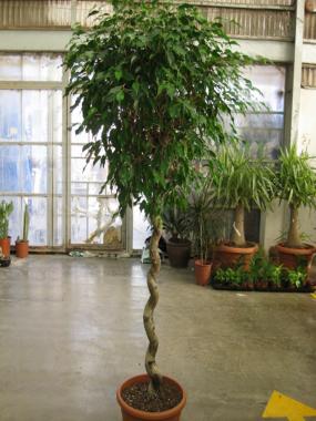 Ficus Single Spiral