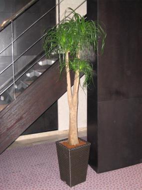 Nolina Ponytail Palm