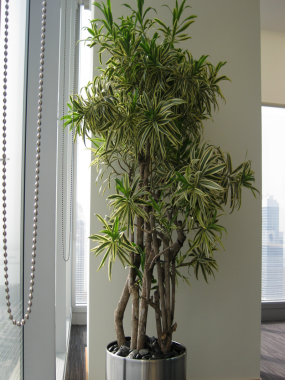 Dracaena Song of India Branched