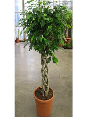 Ficus Koker Cylinder