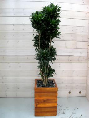 Dracaena Compacta Branched